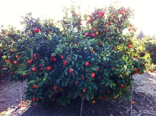 Naranjas Sanguinas Costa