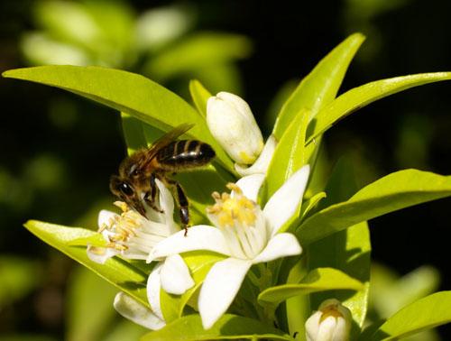 Abeja en una flor de azahar