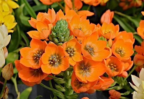 Ornithogalum dubium - Preciosa flor naranja